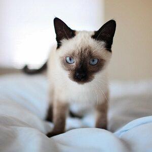 comprar gato siamés