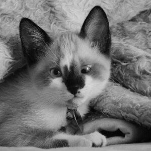 gato siames bizco