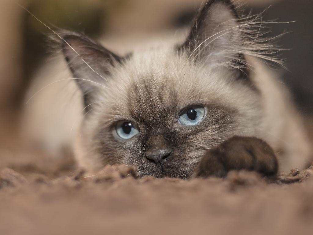 gato siames venta