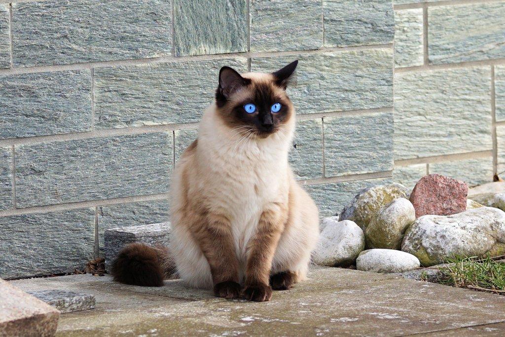 todo sobre los gatos siameses