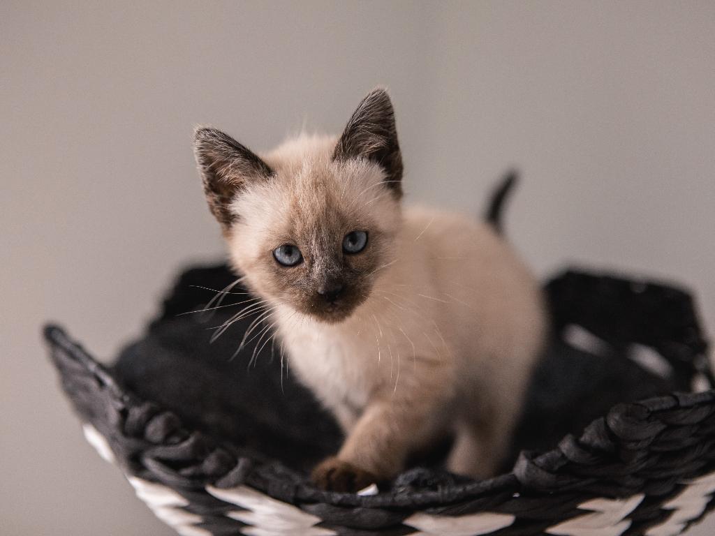 informacion sobre el gato siames
