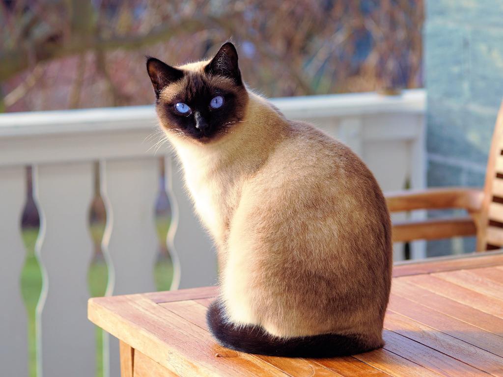 gato siames como saber si es puro