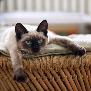 gato siames como cuidar