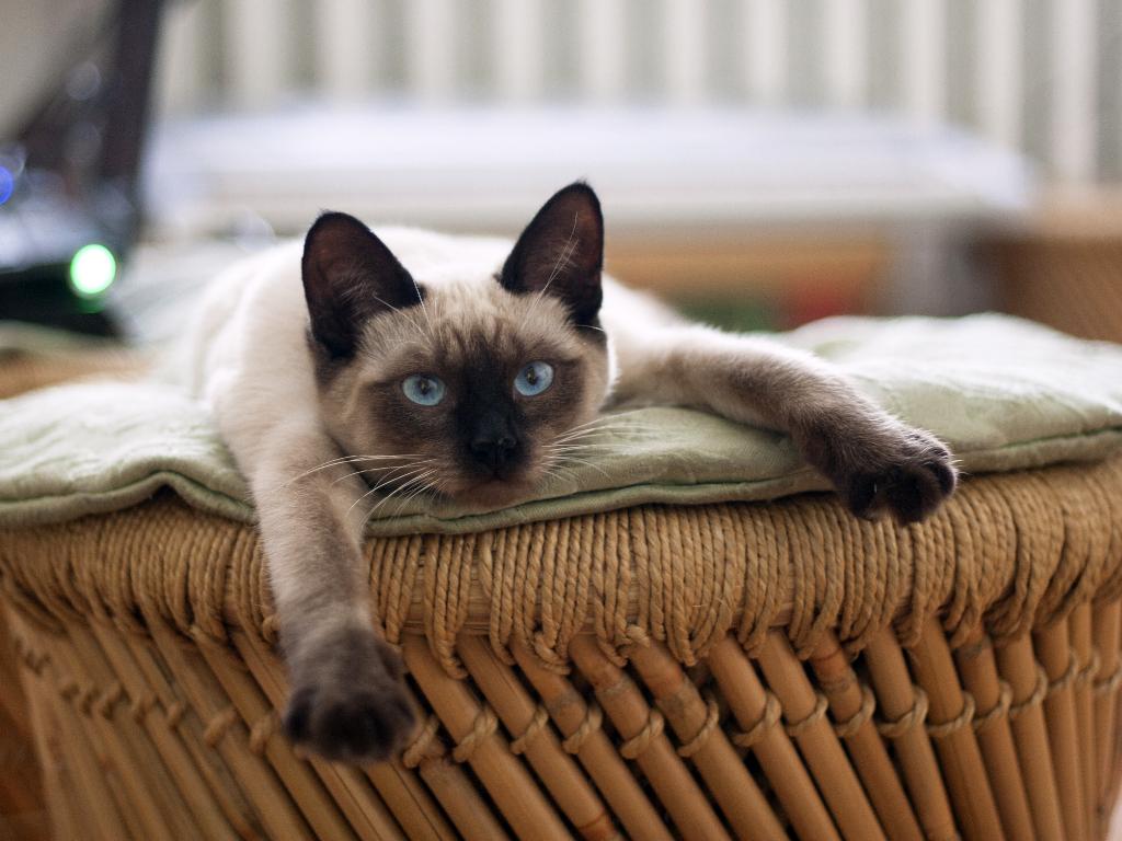 como criar un gato siames