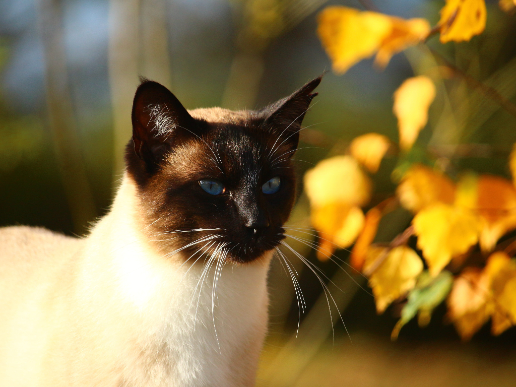 gato siames como identificar