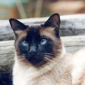 gato siames esperanza de vida