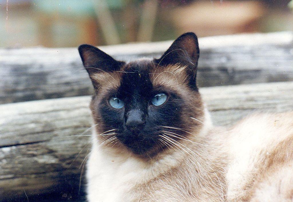 gato siames cuantos años vive