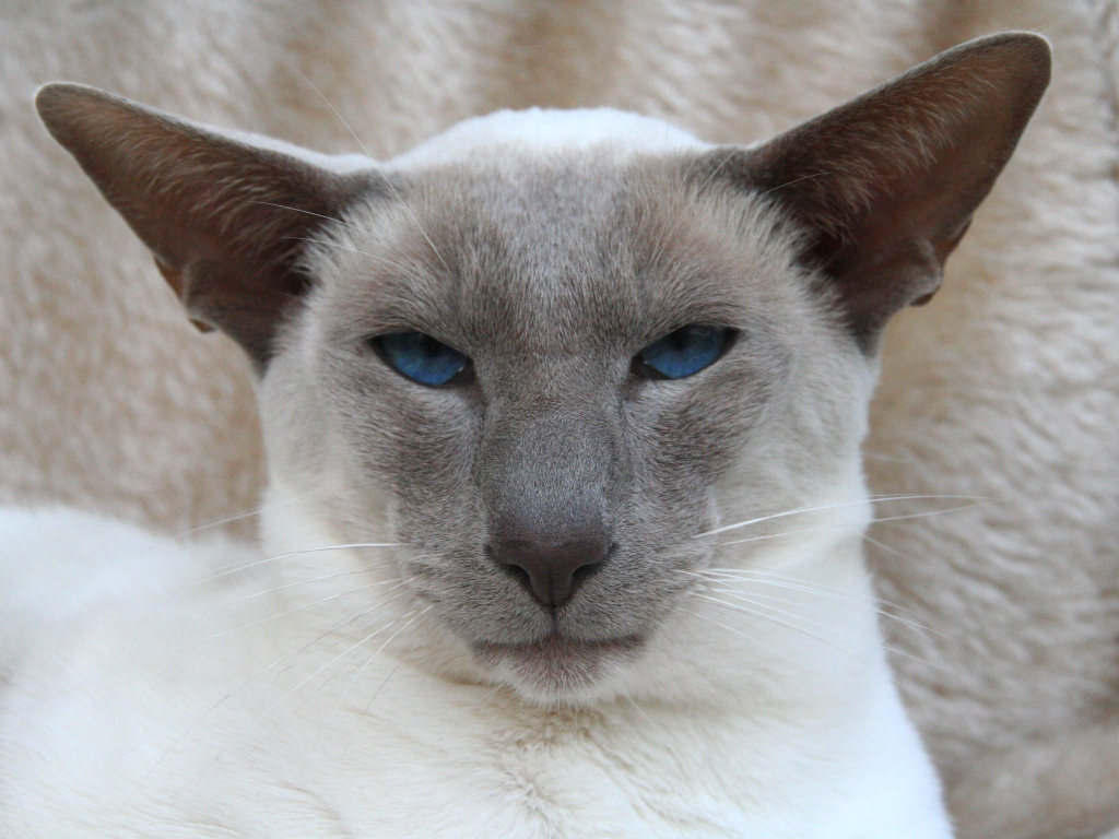 gato siames punto azul