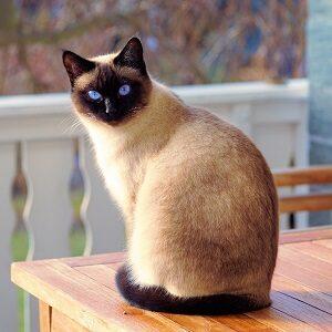 como saber si mi gato siames es original