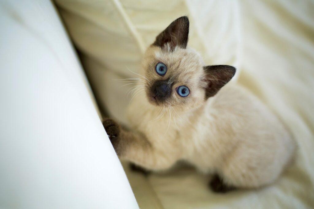 gato angora siames precio