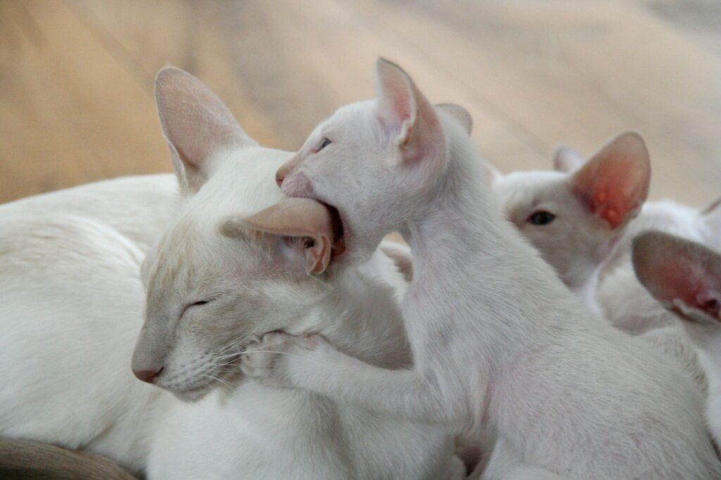 gato siames bebe precio