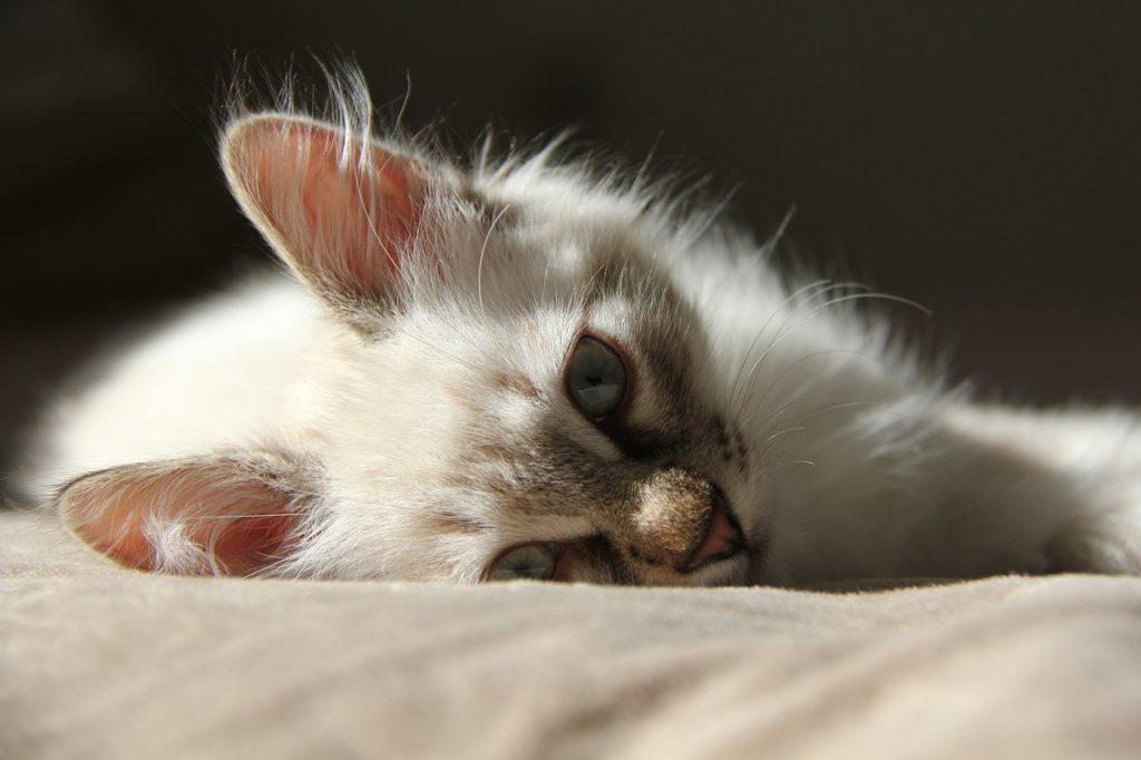 nombres de gatitas siames