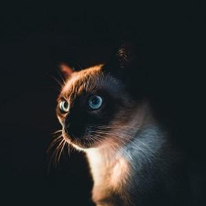 origen gatos siameses