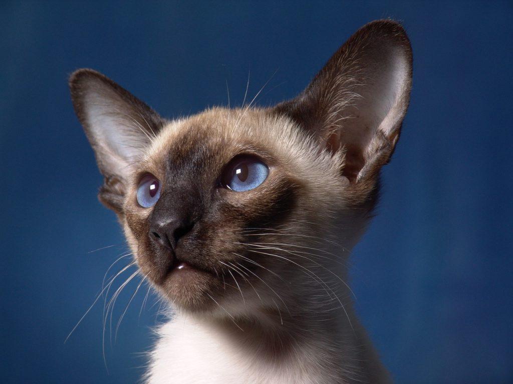 gato siames curiosidades